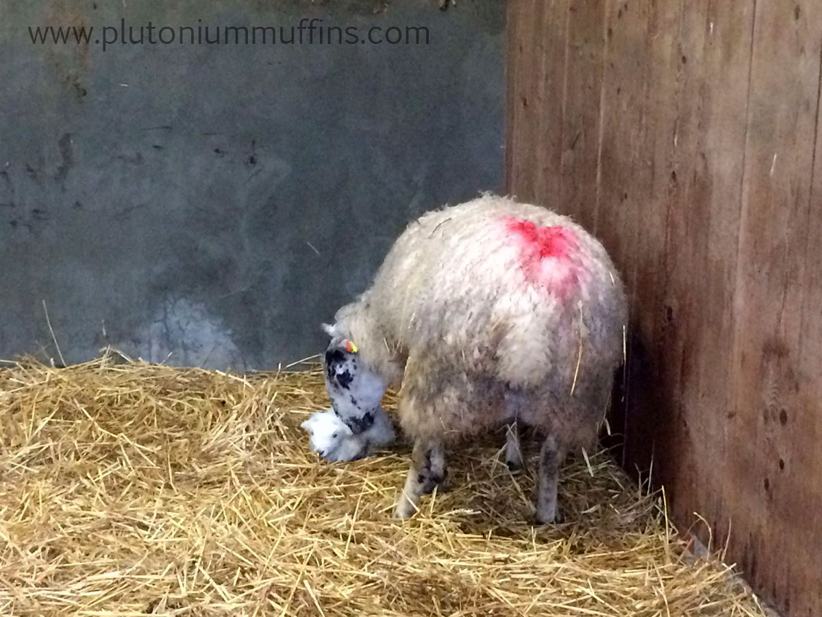 The first lamb is born.
