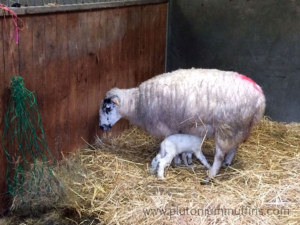 The second lamb gets a feed.