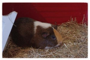 Vinny the Guinea (Copyright Corrie B)