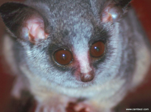 Gizmo the Bushbaby (used with permission from Daddykins and www.zambezi.com)