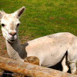A shorn llama