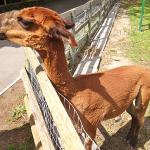 An angry llama