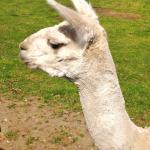 A llama solving quadratic equations in its head