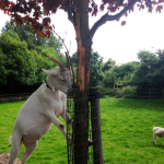 A goat munching on banned leaves