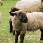 An Oxford Downs lamb at the Mudchute Farm