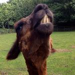 A llama baring his teeth at us.