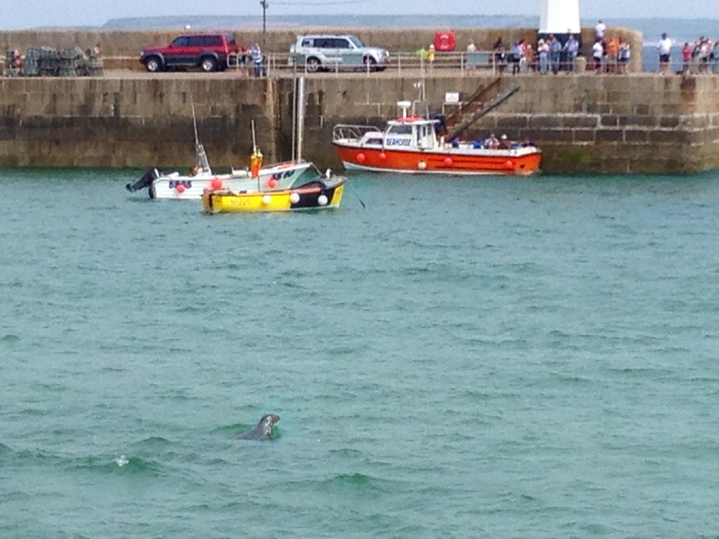 A seal in St Ives harbour