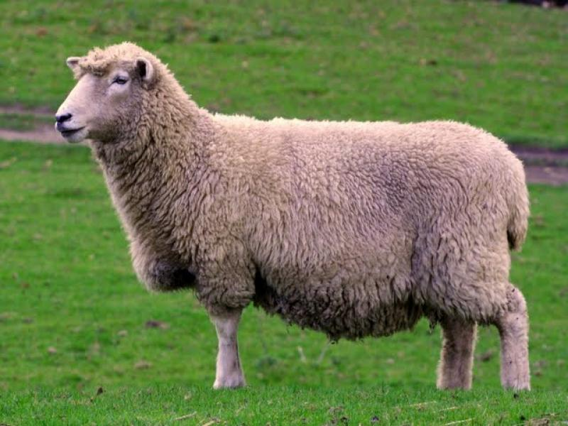 Romney Sheep from Kent (photo credit to Romney Marsh Wools)