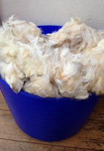 Big blue tub of raw and unsorted fleece.