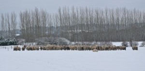 Cold sheep in the field just outside our house.