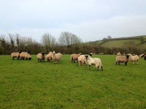 At home in Devon - many of sheep!
