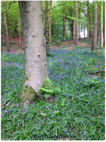 Bluebells and tree-trunks. Gorgeous!
