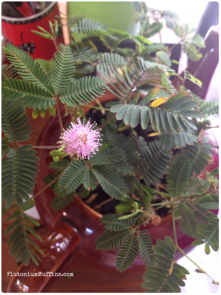 Birthday mimosa pudica.
