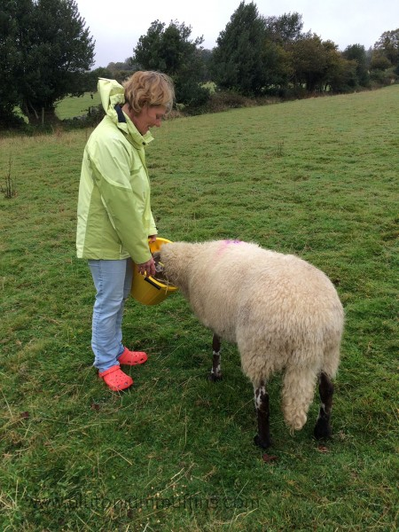 Mum feeding Angelica sheep mix from a yellow bucket.