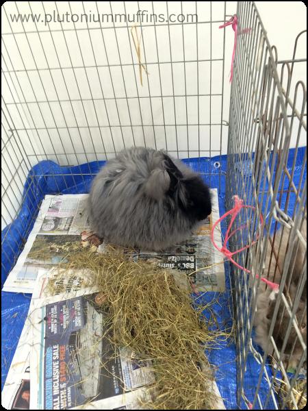 An Angora bunny! So fluffeh.