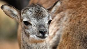 A Mouflon Lamb, cutey pie!