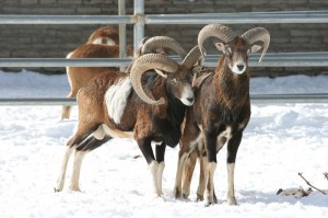 Mouflon in a zoo in the USA.
