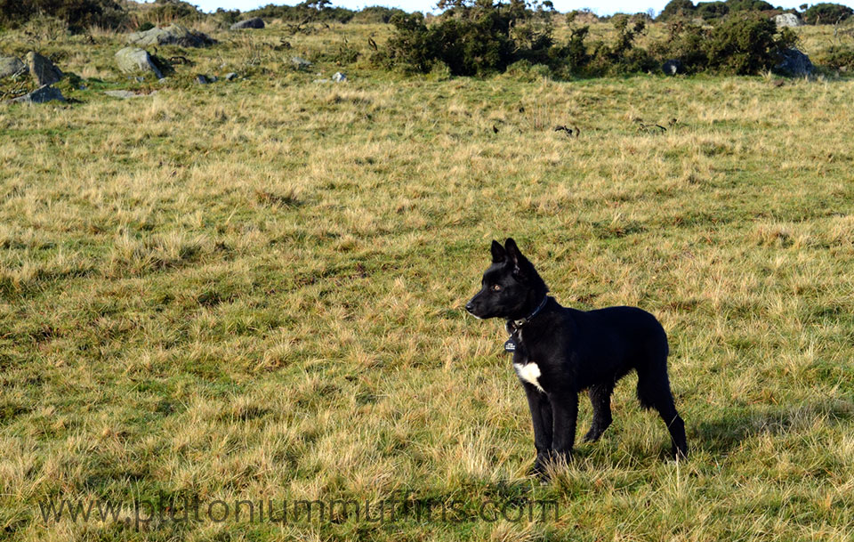 Chase on the moor, ears standing to attention!