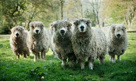 Some Greyface Dartmoor sheep - with attitude! Photo: Craig Easton