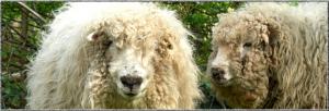 Dartmoor Greyface sheep (click for source)