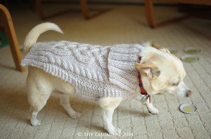 Wiggles the Chihuahua wearing his sweater. Image copyright Shy Lalumiere 2014.