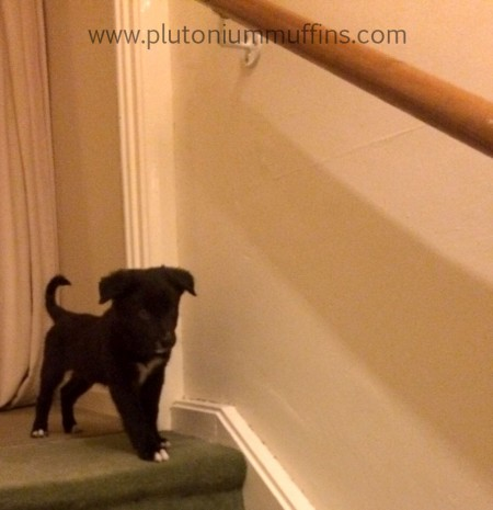 Getting Chase inside for the first time meant he encountered something new - stairs!