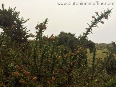 Gorse on Dartmoor. It was hard to get this photo because the stuff is so prickly!
