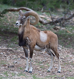 An Armenian Mouflon Male.