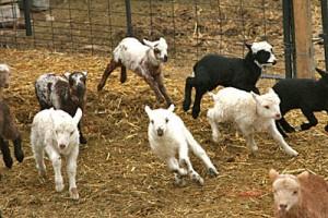 Navajo-Churro lambs!