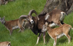 Mouflon in Cyprus - a male and a ewe.