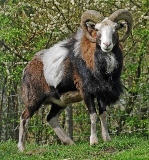 A European Mouflon male.