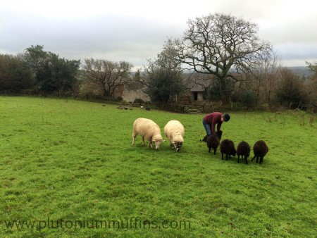 The flock of sheep being fed by mum. Guineas in the background.