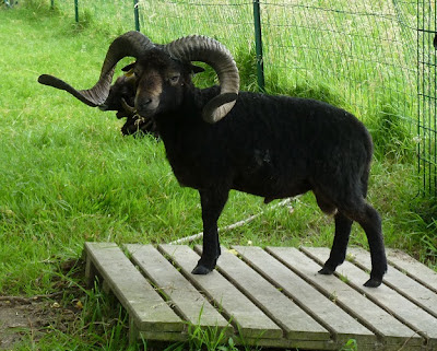 Ouessant Ram (click the picture to go to source)