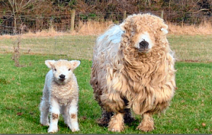 Greyface Dartmoor ewe and lamb - click for source.