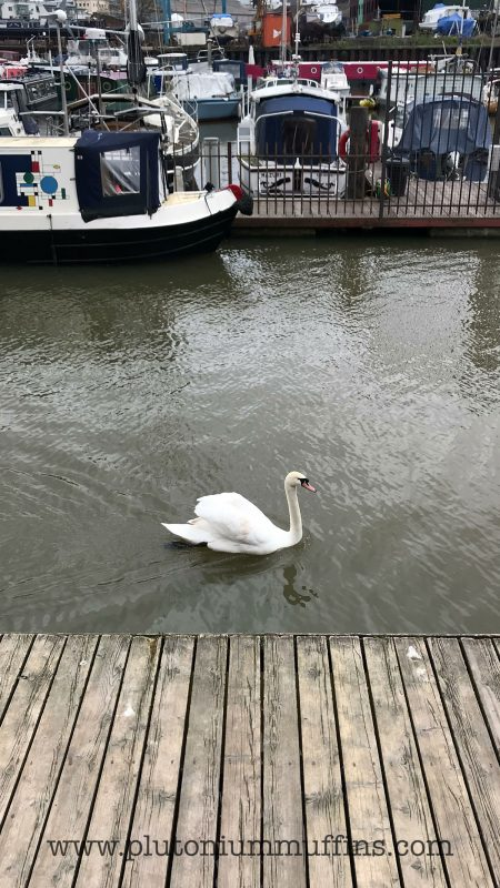 Swan in Bristol Harbour - I've nicknamed him Frank and see him almost every day.