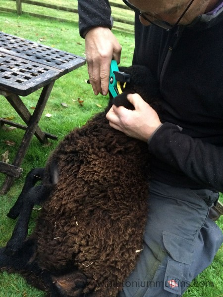Tagging sheep is an important part of keeping them as it allows the government to keep track of who is who.
