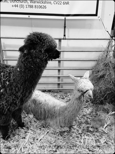 Toft alpacas, one suri and one huacaya