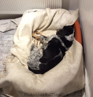 Tommy stealing Jet's bed because it was *far* more comfy than his own.