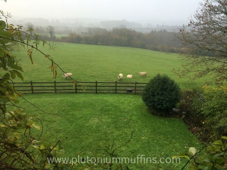 View of the sheep from my window! There's a pheasant hanging out with them too.